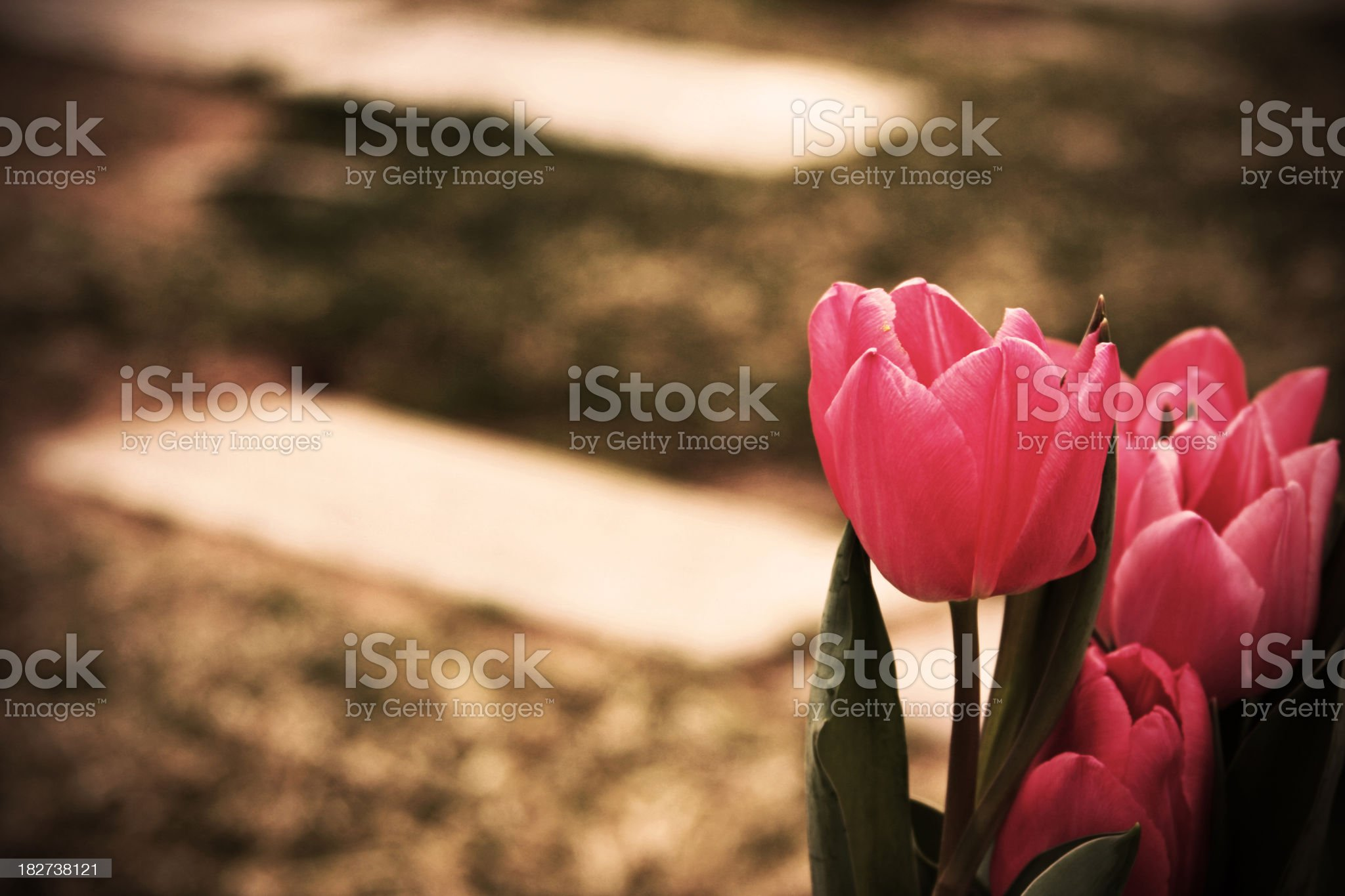 Cemetary Tulips royalty-free stock photo