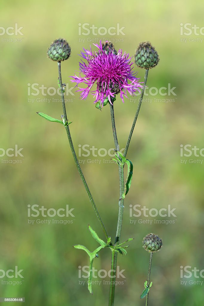 Centaurea apiculata Ledeb. The top part and stalk of plant stock photo