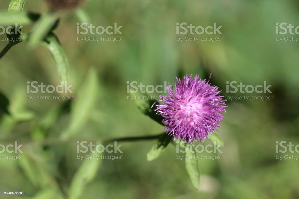 centaury or knapweeds flower stock photo
