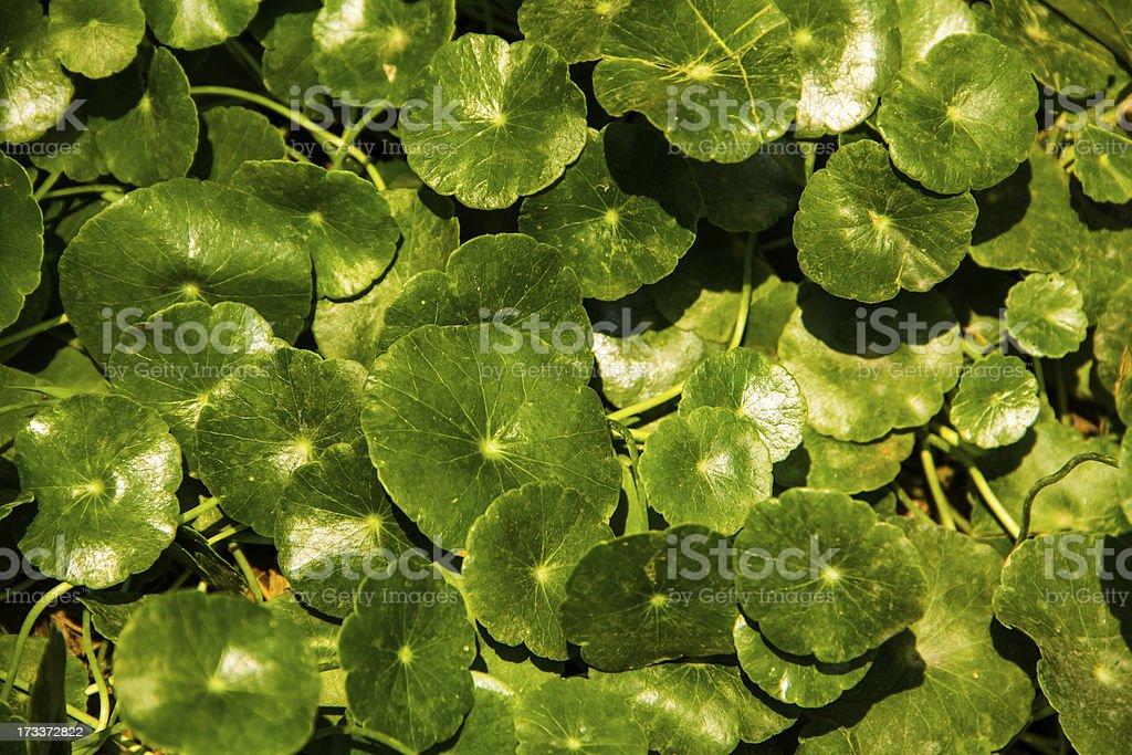 centella asiatica background stock photo