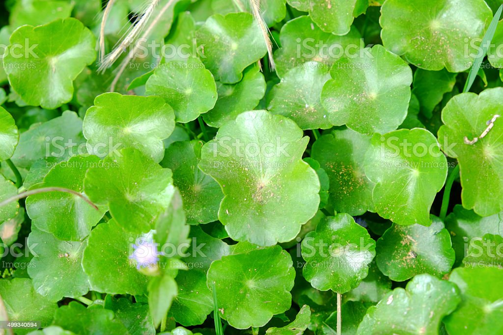 centella asiatica background stock photo