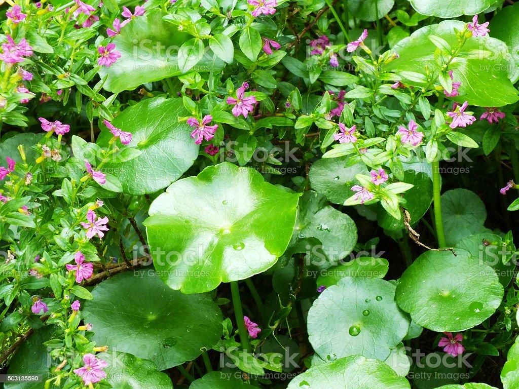 centella asiatica gotu kola green leaves stock photo