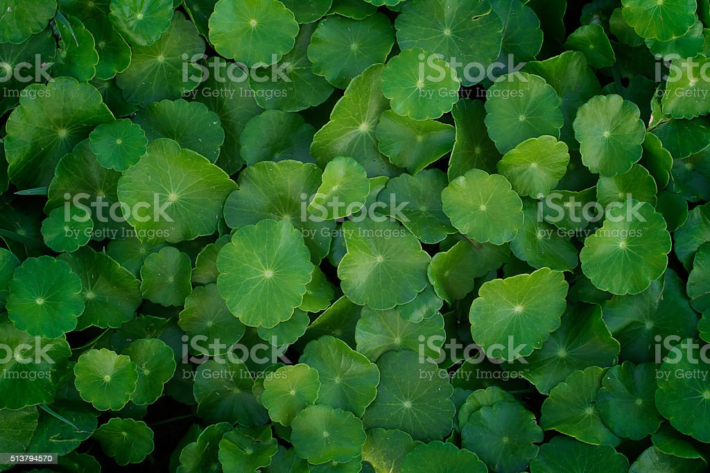 Centella asiatica, green leaves Herbs,Water Pennywort stock photo