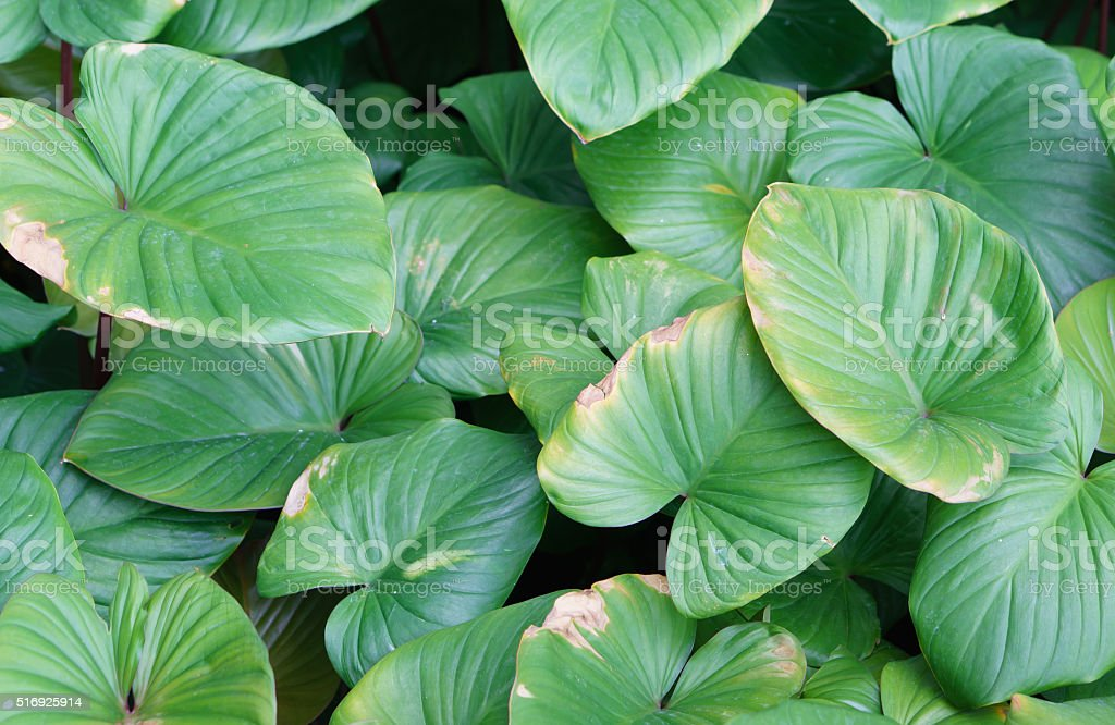 Centella asiatica is a herb plant stock photo