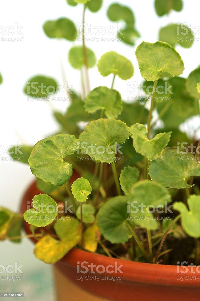 Centella Asiatica L Urb stock photo