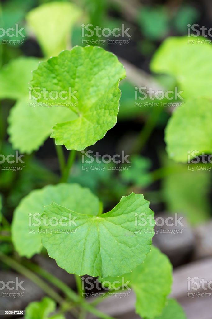Centella asiatica leaves, commonly known as centella and gotu kola, stock photo