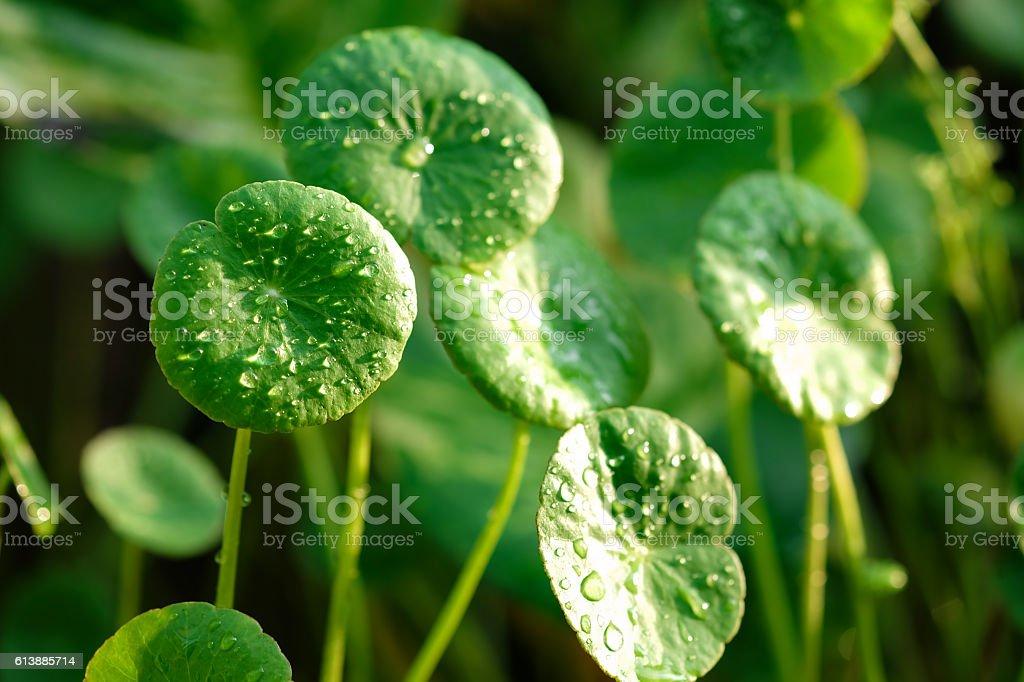 Centella asiatica morning dew stock photo