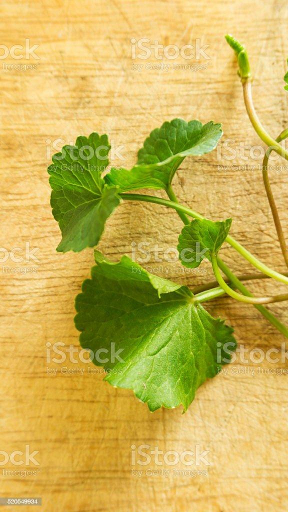 Centella asiatica on wood background stock photo