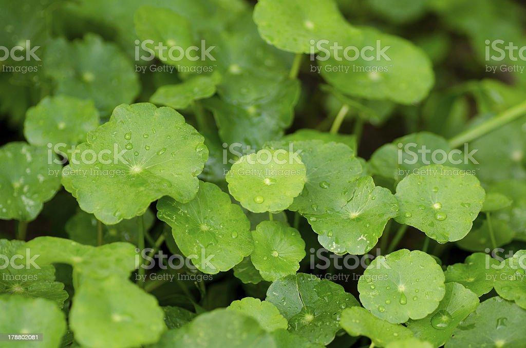Centella asiatica royalty-free stock photo