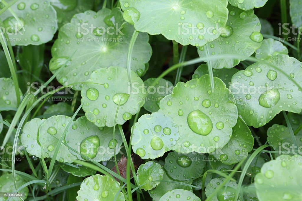 Centella asiatica. stock photo