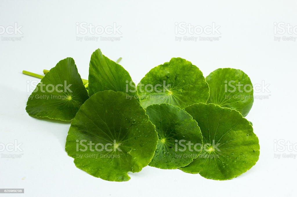 Centella asiatica,entella asiatica, Asiatic Pennywort,(Centella stock photo
