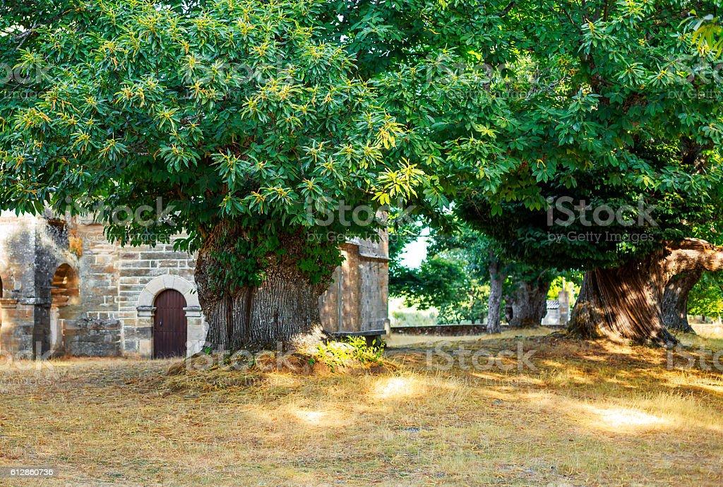 Centenary chestnut trees in ancient Celtic settlement stock photo