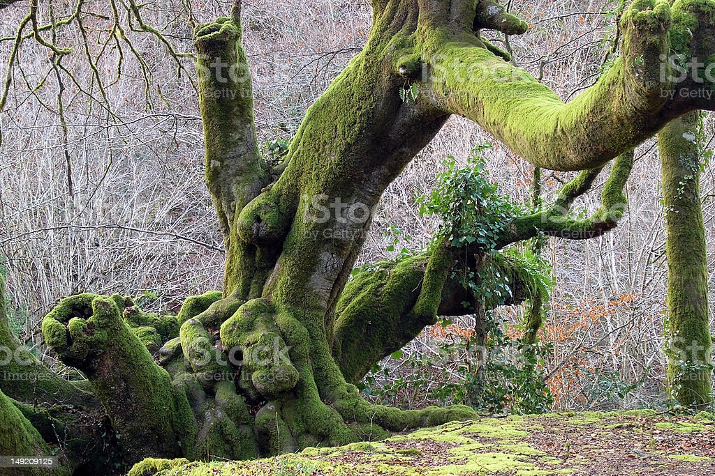centenary oak tree stock photo