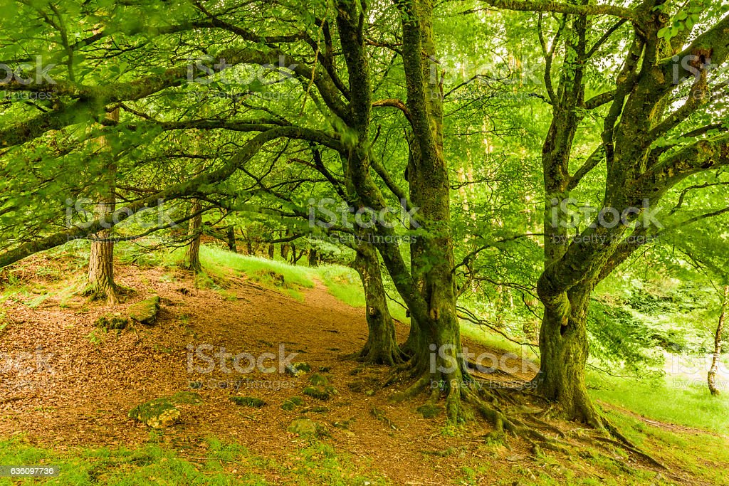 Centenary trees in forest stock photo