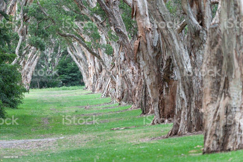 Centennial Park in Sydney, Australia.  Thick Evergreen Tea Trees stock photo