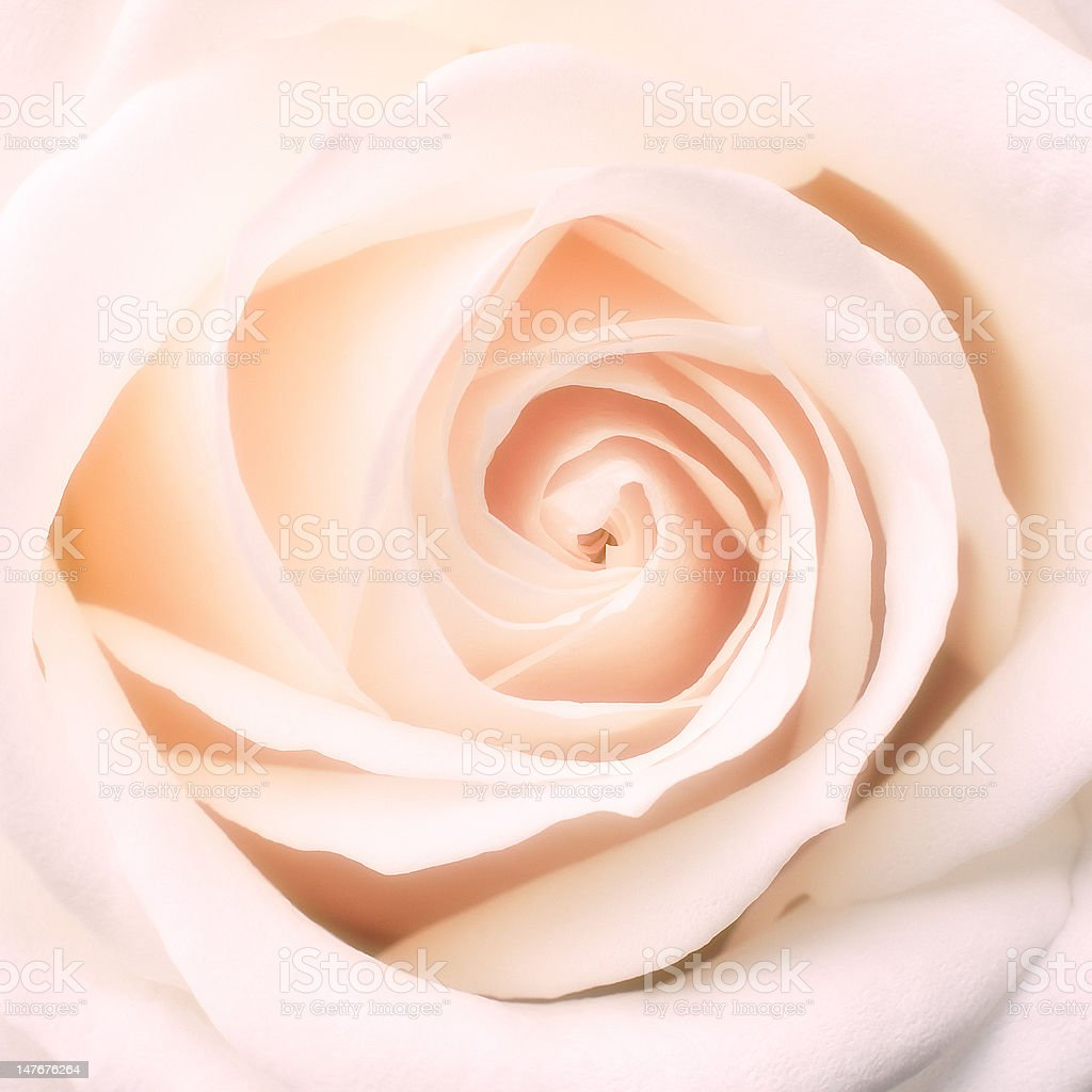 center of rose royalty-free stock photo