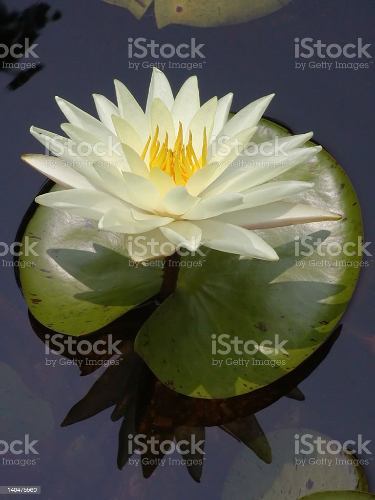 Centered Lily royalty-free stock photo