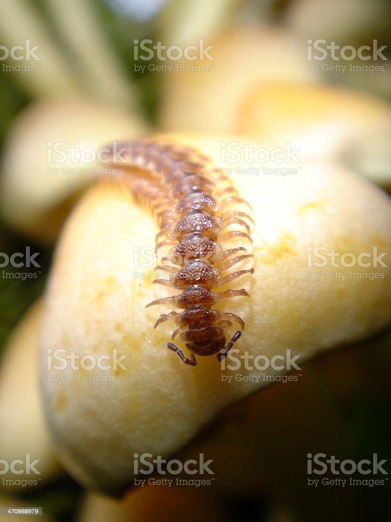 Centipede Crawling on White Mushroom stock photo