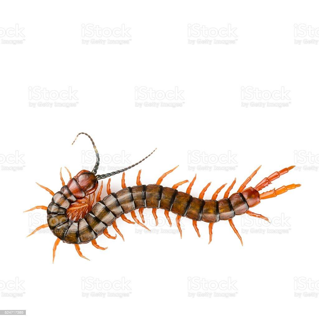 Centipede Isolated stock photo