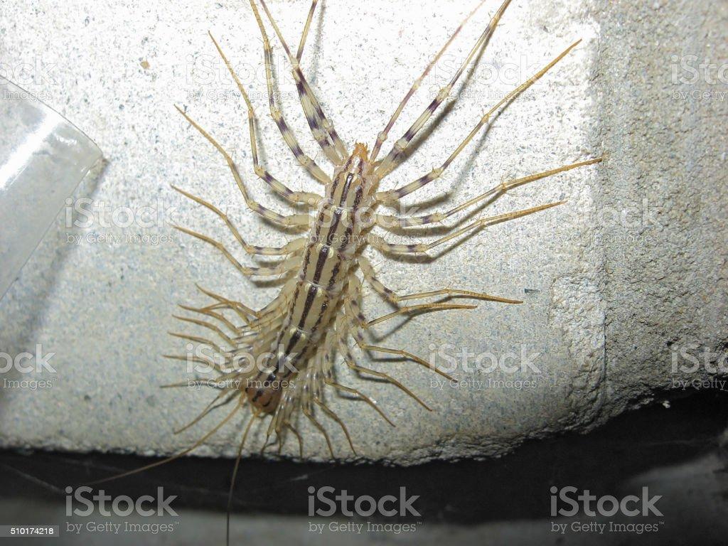 Centipede on concrete stock photo