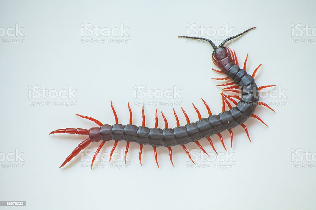 Centipede stock photo