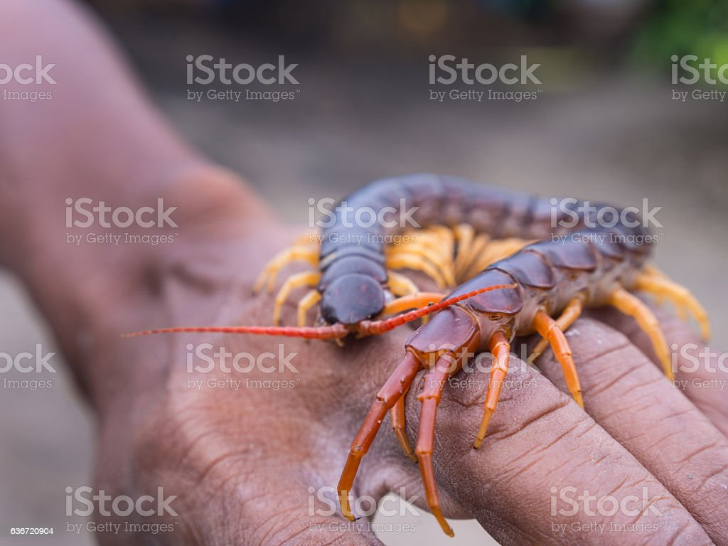 Centipede Walked on Hand stock photo