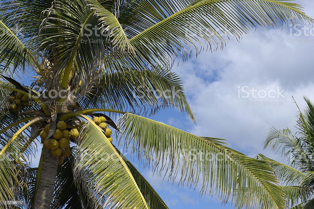Central America Palm Tree with Coconuts stock photo