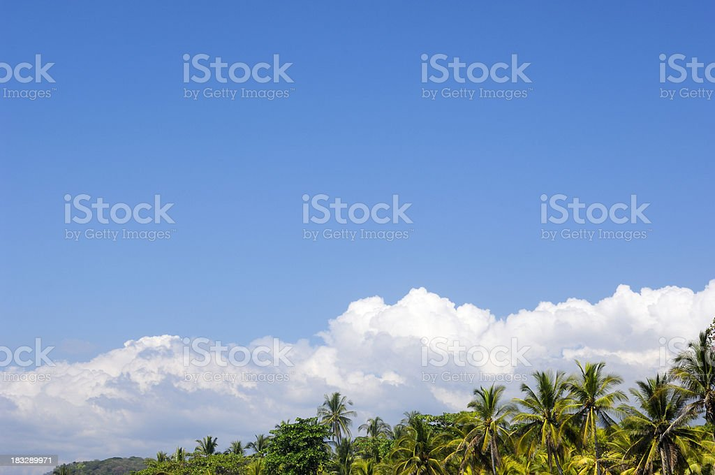 Central America Palm Tree with Coconuts royalty-free stock photo