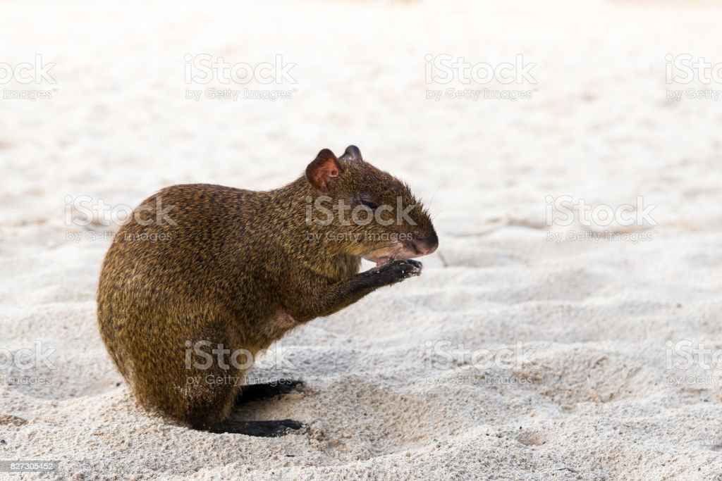 Central American agouti Dasyprocta punctata sitting at beach sand stock photo