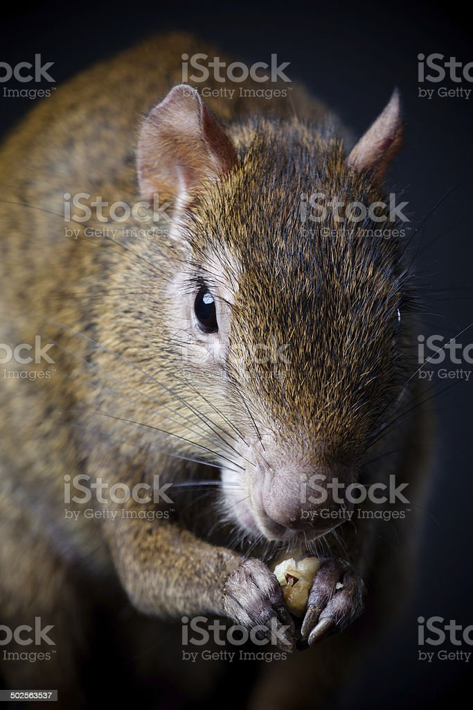 Central American agouti on black stock photo