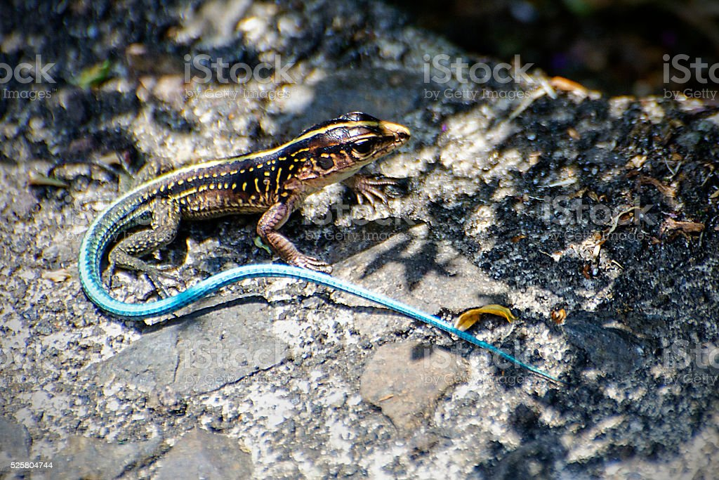 Central American whiptail, Holcosus festivus stock photo