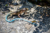 Central American whiptail, Holcosus festivus
