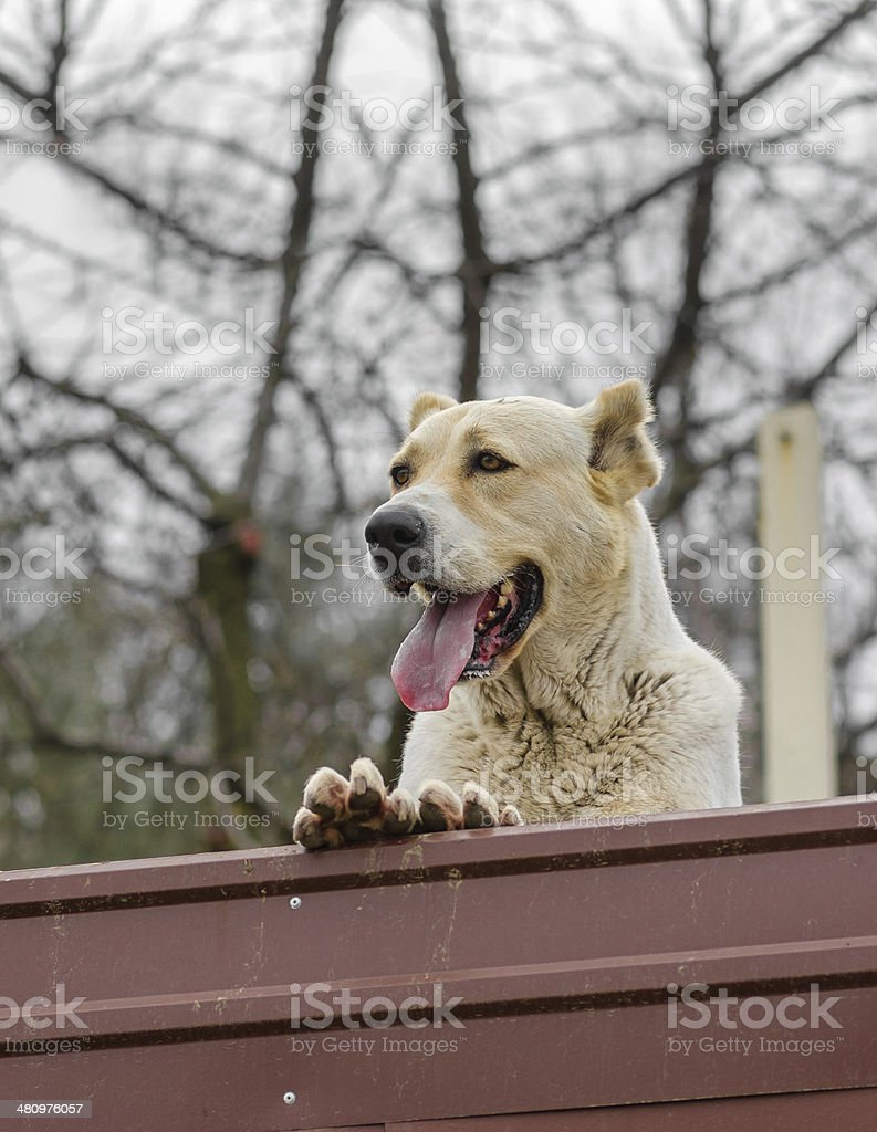 Central Asian Shepherd Dog is guarding the territory stock photo