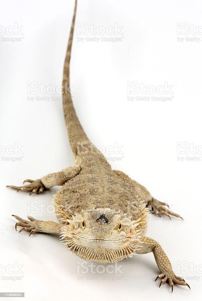 Central bearded dragon  lizard stock photo