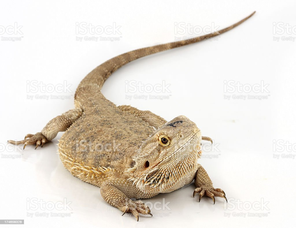 Central bearded dragon  lizard royalty-free stock photo