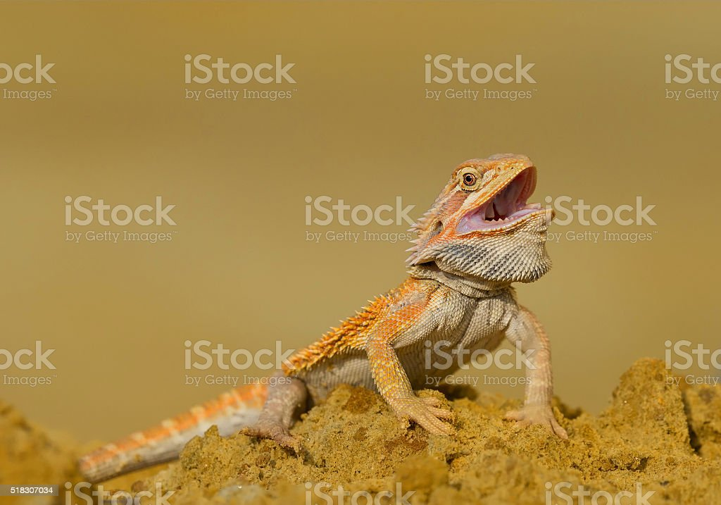 Central bearded dragon on the rock stock photo