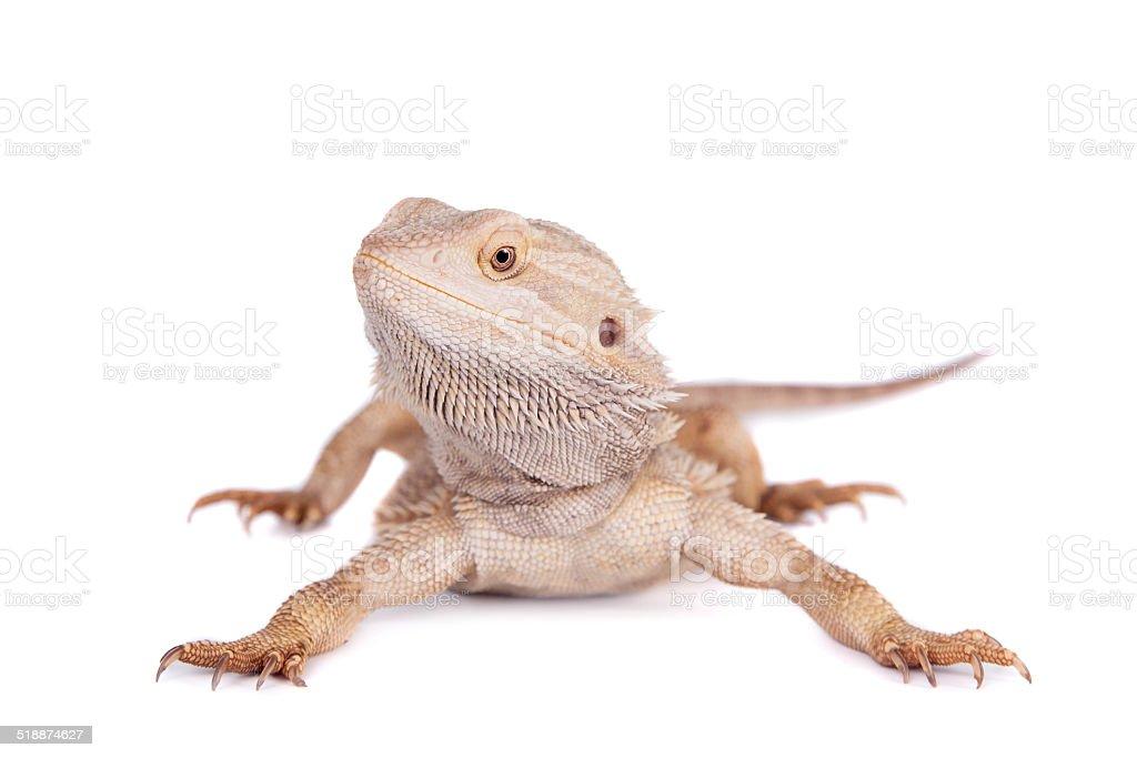 Central Bearded Dragon on white background stock photo
