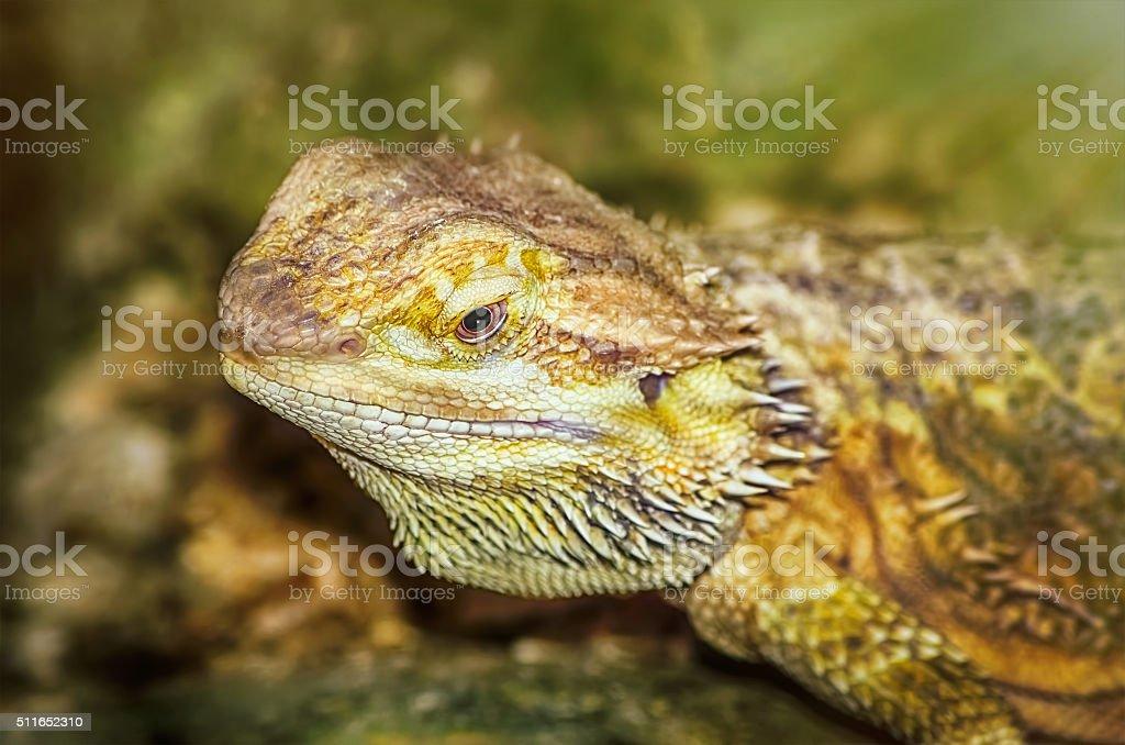 Central Bearded Dragon stock photo