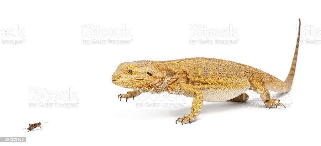 Central Bearded Dragon, Pogona vitticeps, chasing a cricket stock photo