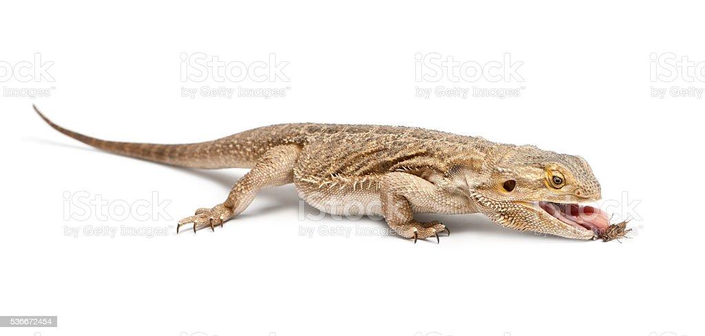 Central Bearded Dragon, Pogona vitticeps, eating a cricket stock photo