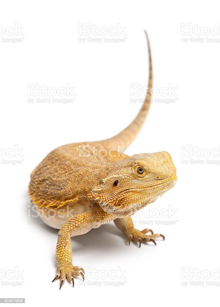 Central Bearded Dragon, Pogona vitticeps, in front of white background stock photo