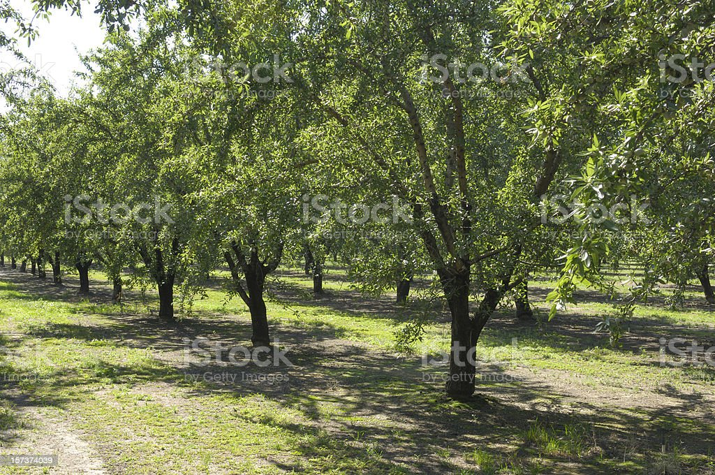Central California Almond Orchard With Ripening Nuts on Trees royalty-free stock photo