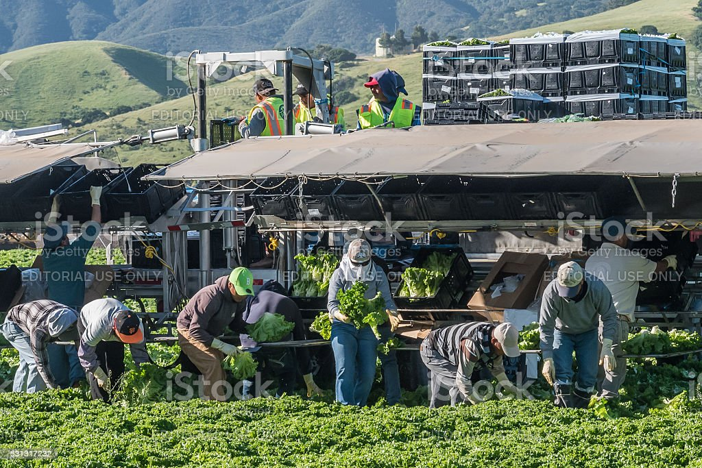 Central California Lettuce Harvest stock photo