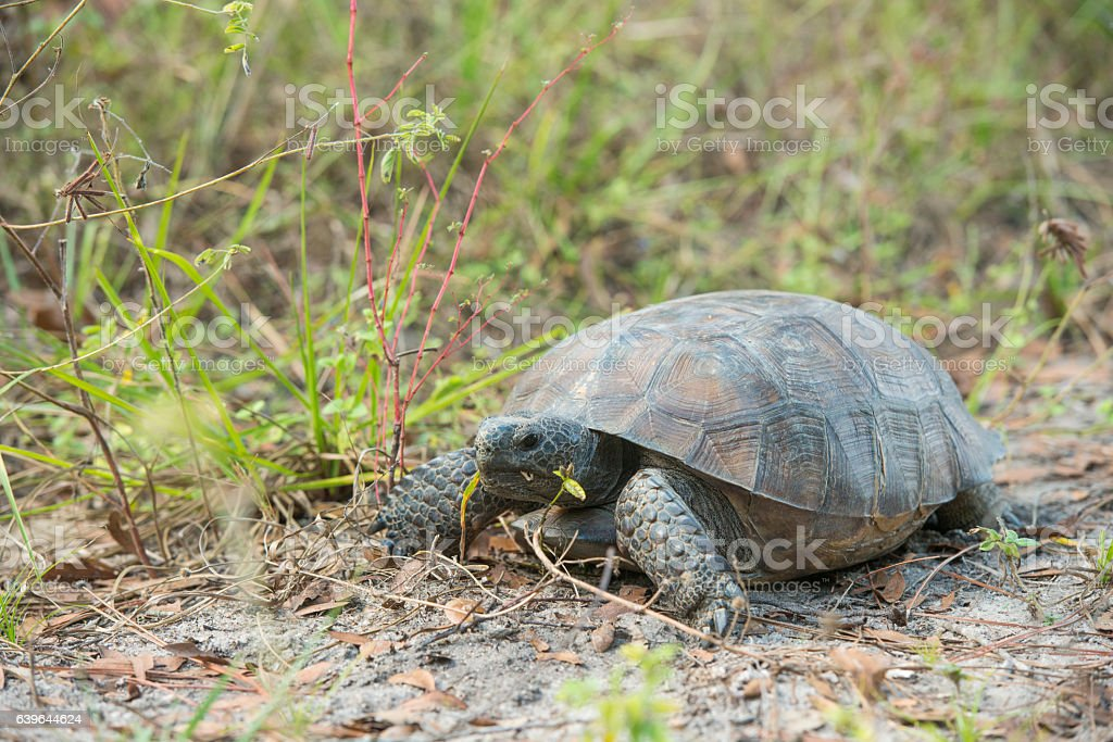 Central Florida Gopher Tortoise in Sand Hill Environment stock photo