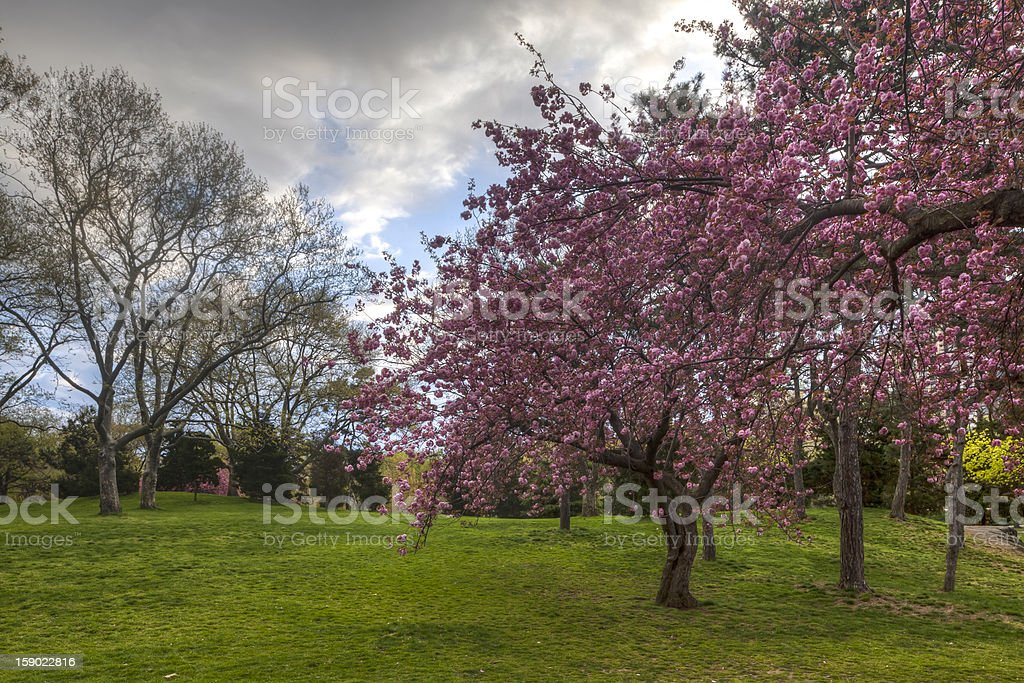 Central Park cherry trees stock photo