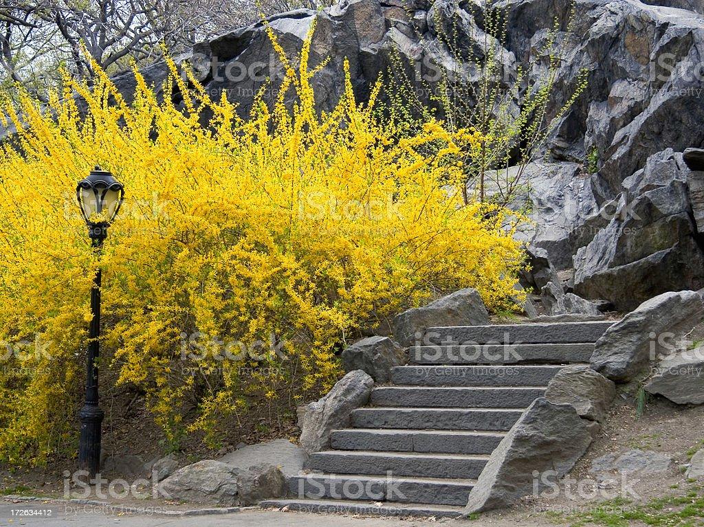 Central Park Forsythia stock photo