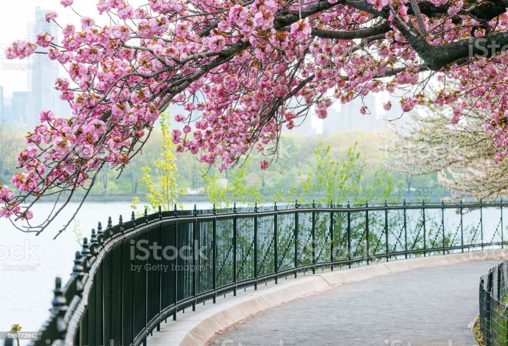 NYC Central Park Resevoir Cherry Tree Canopy Over Sidewalk stock photo