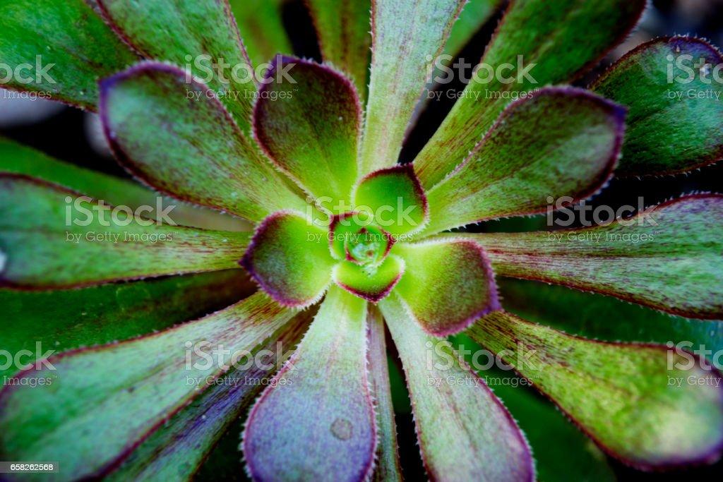 Centre of a Succulent stock photo