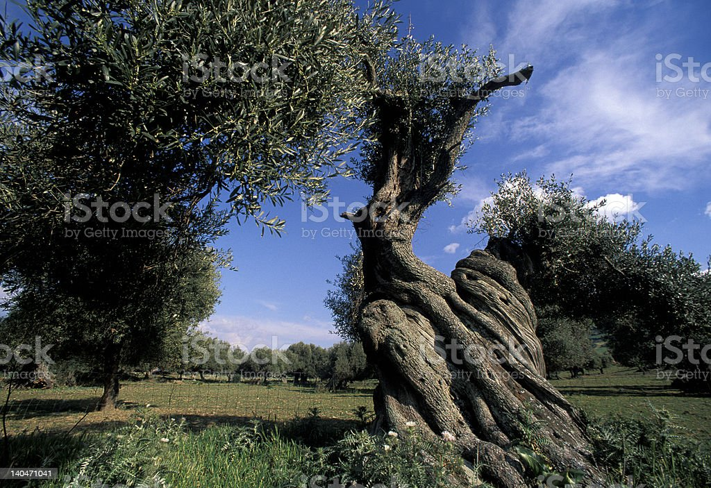 centuries-old olive tree royalty-free stock photo