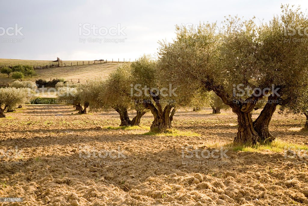 Century old olive trees field royalty-free stock photo